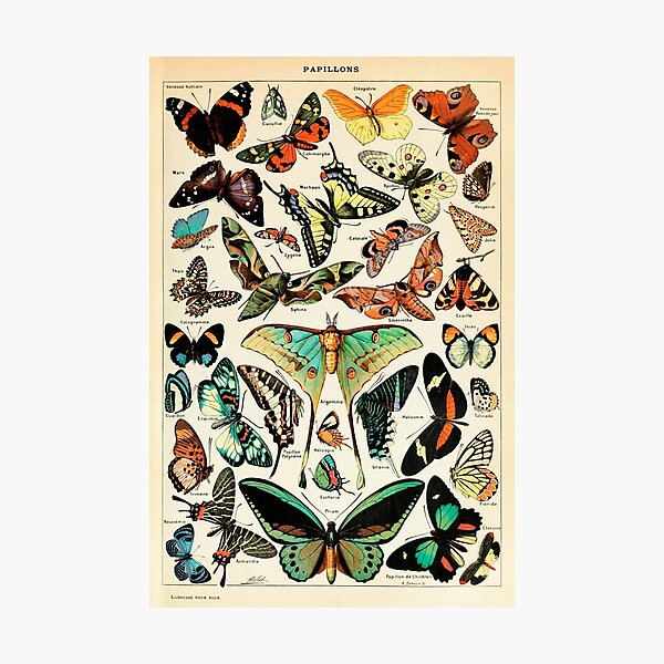 Papillon I Vintage French Butterfly Charts by Adolphe Millot Photographic Print