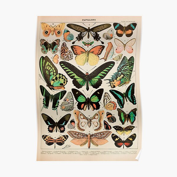Papillon II Vintage French Butterfly Chart by Adolphe Millot Poster