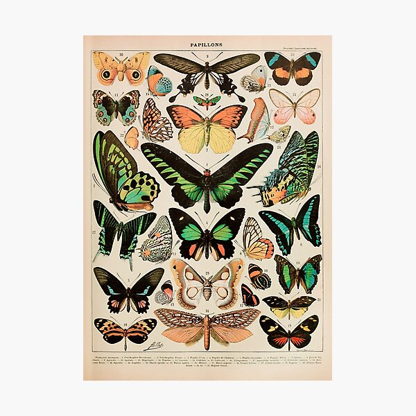 Papillon II Vintage French Butterfly Chart by Adolphe Millot Photographic Print