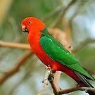 Male King Parrot. Brisbane, Queensland, Australia.  by Ralph de Zilva