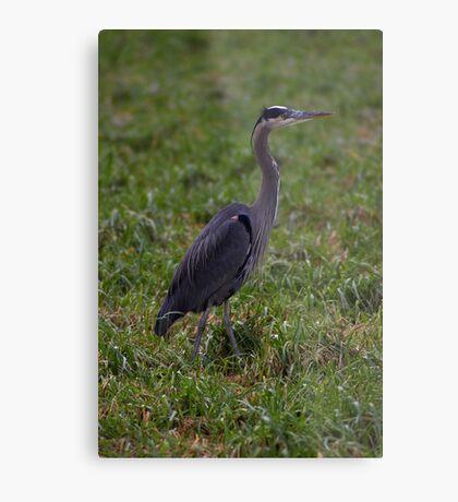 handsome heron Metal Print