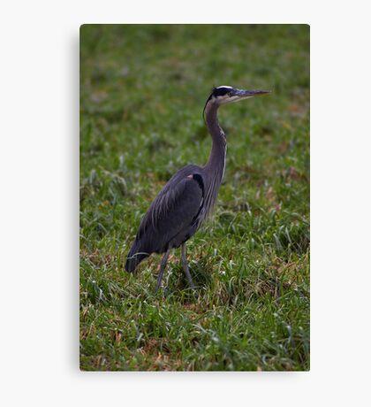 handsome heron Canvas Print