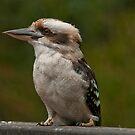 Kookaburra at Sherbrooke Forest IV by Tom Newman