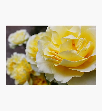 Yellow Roses Photographic Print