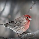 Housefinch by G. David Chafin