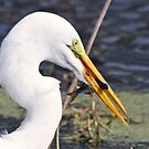 Great white egret with todays catch! by Anthony Goldman