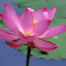 Lotus Inspirations by NatureGreeting Cards ©ccwri