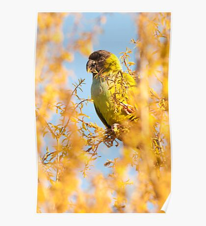 """""""Bird In Paradise"""" - wild Nanday Conure in Largo, Florida Poster"""