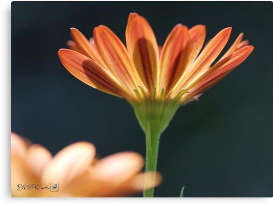 Osteospermum named Sunadora Palermo by JMcCombie