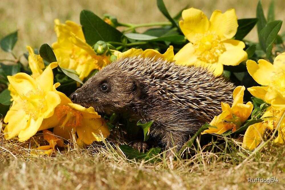 Hedgehog by Ruffdog64