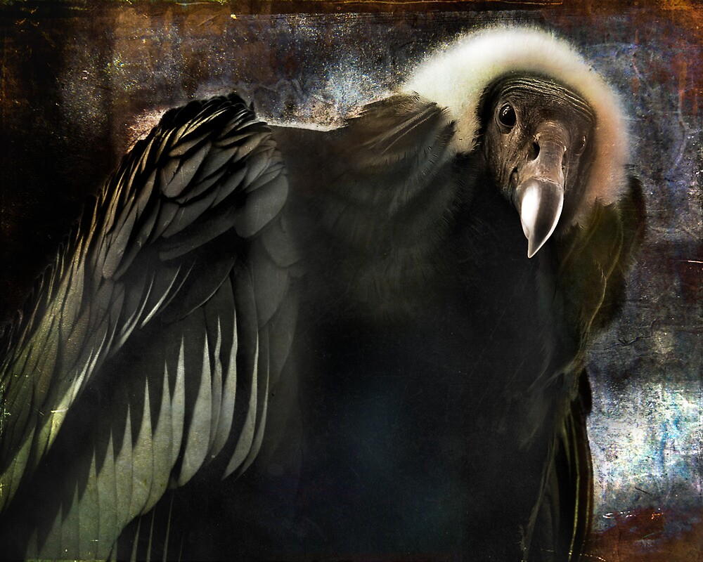 Andean Condor Portrait. I think she's beautiful but to her I am just another piece of meat. by alan shapiro