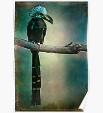 A West African White Crested Hornbill Portrait Poster
