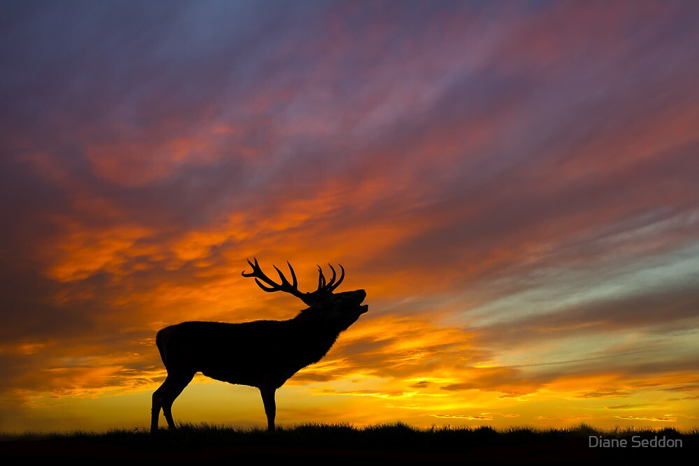 Roaring Stag at Sunset by Diane Seddon