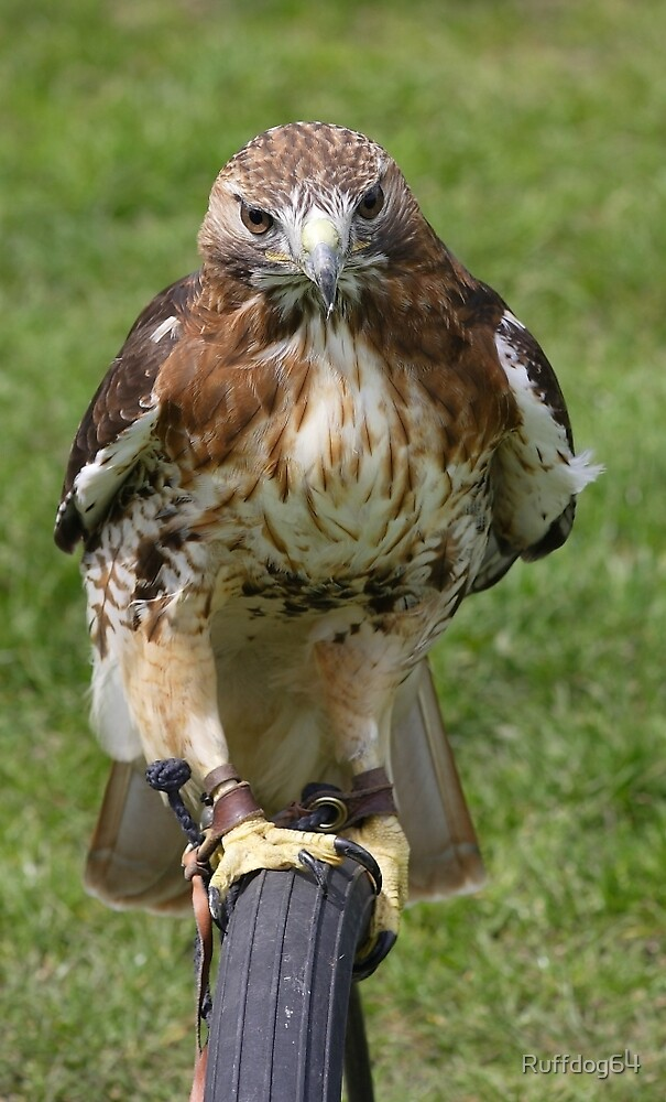 Hawk by Ruffdog64