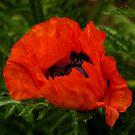 Poppy flower by Igor Mazulev