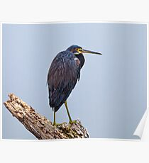 Lonely Tri Color Heron Poster
