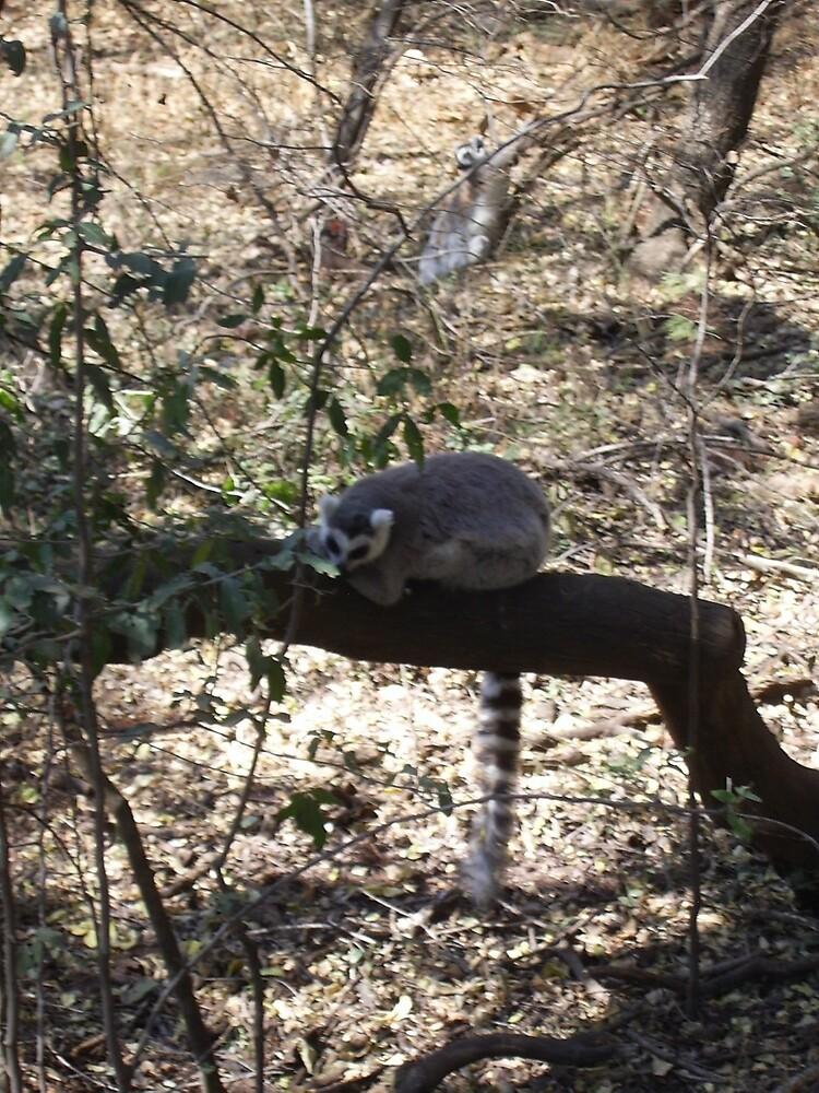 Ring-Tailed Lemur, Gauteng, South Africa by sbrosszell
