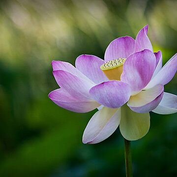 Lotus by Sharon