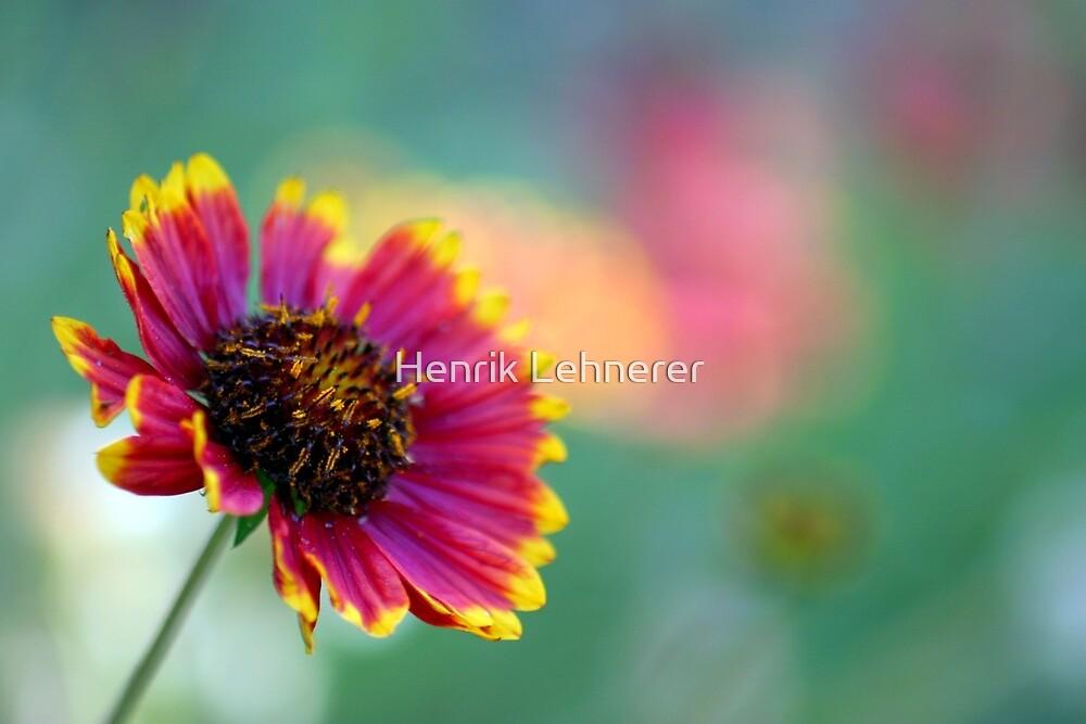 California Blanket Flower by Henrik Lehnerer