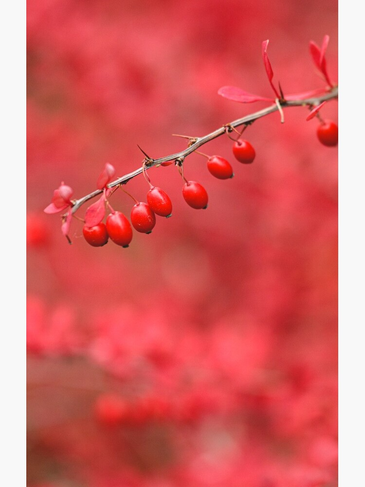 Close-up of red barberry by Juhku