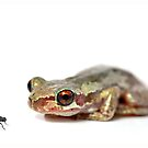 Bleating tree frog (litoria dentata)  by clearviewstock