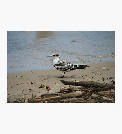 Young Bridled Tern Photographic Print