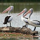 3 Feathered Friends - River Murray, Victoria by clearviewstock