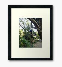 Semi-Wild Peacock, Gauteng, South Africa Framed Print