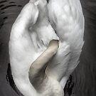 Preening Swan by Sandra Cockayne
