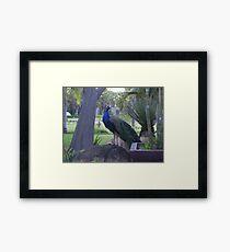 Semi-Wild Peacock 3, Gauteng, South Africa Framed Print