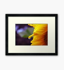 Raindrop on a Sunflower Framed Print