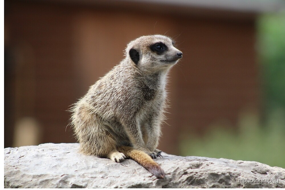 Meerkat  by hlphotography