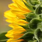 Sunflower from the Color Fashion Mix by JMcCombie