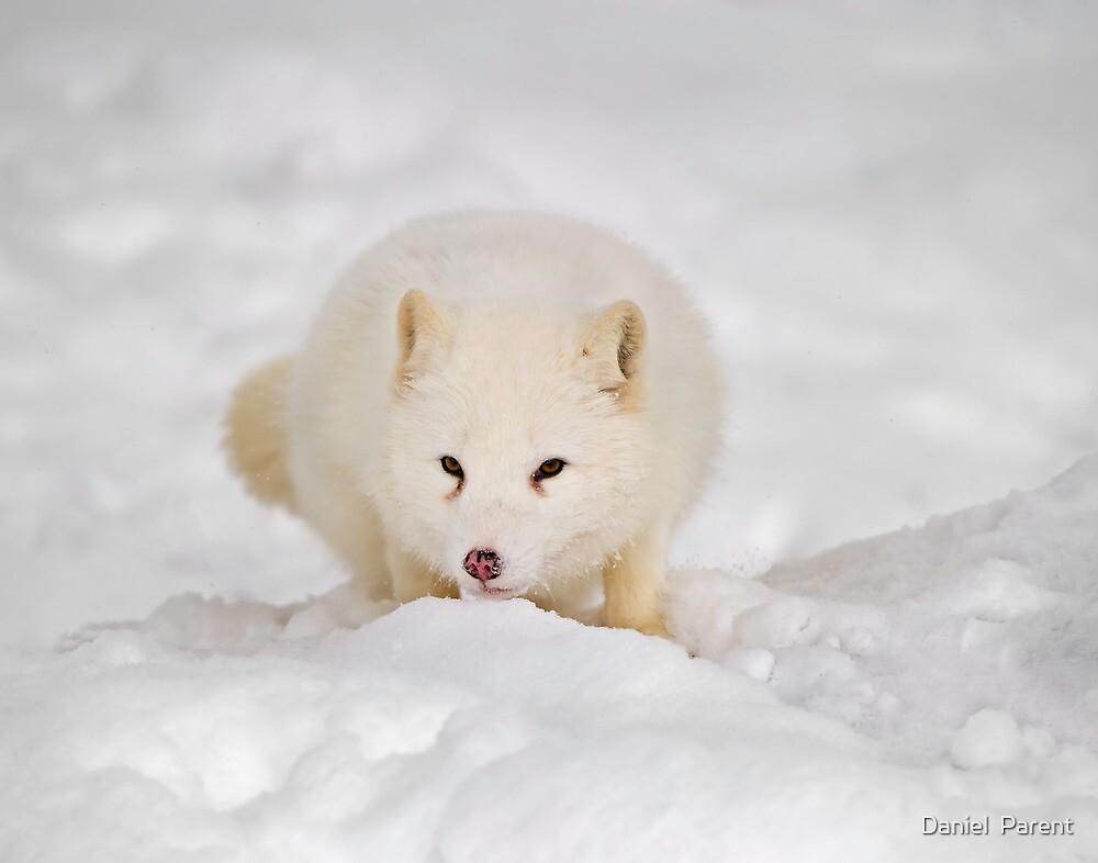 Arctic Fox by Daniel  Parent
