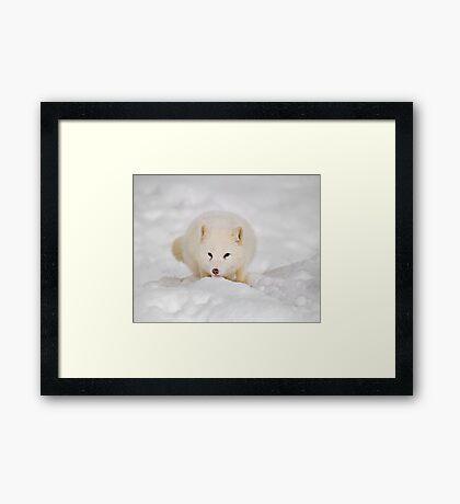 Arctic Fox Framed Print