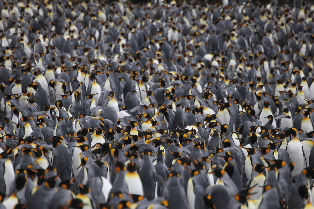 King penguins rookery by Marion Joncheres