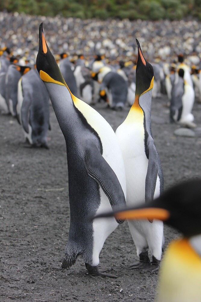 King penguins courting by Marion Joncheres