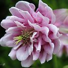 Double Columbine named Pink Tower by JMcCombie