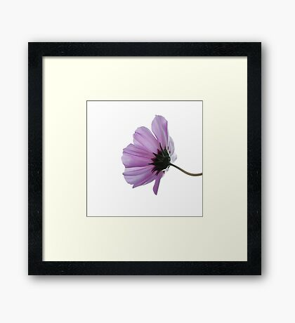 Cosmea on white Framed Print