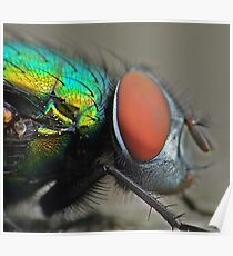 Greenbottle Fly Poster