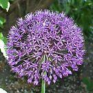 Purple Allium by Cat-Artist