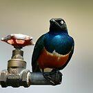 Superb starling by Paulo van Breugel