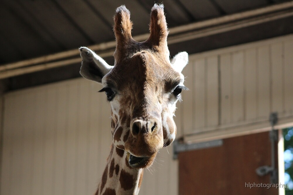 Hungry Giraffe by hlphotography