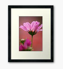 Pink Cosmos Framed Print