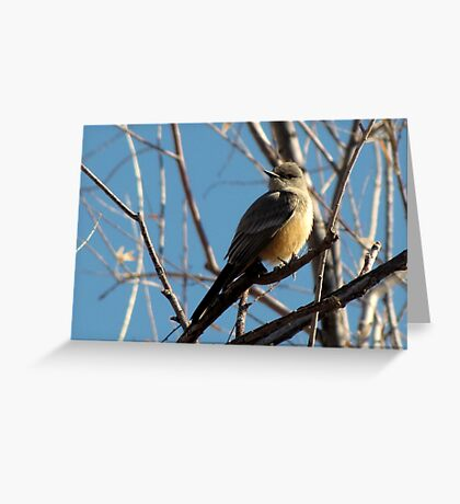 Say's Phoebe ~ Adult Greeting Card