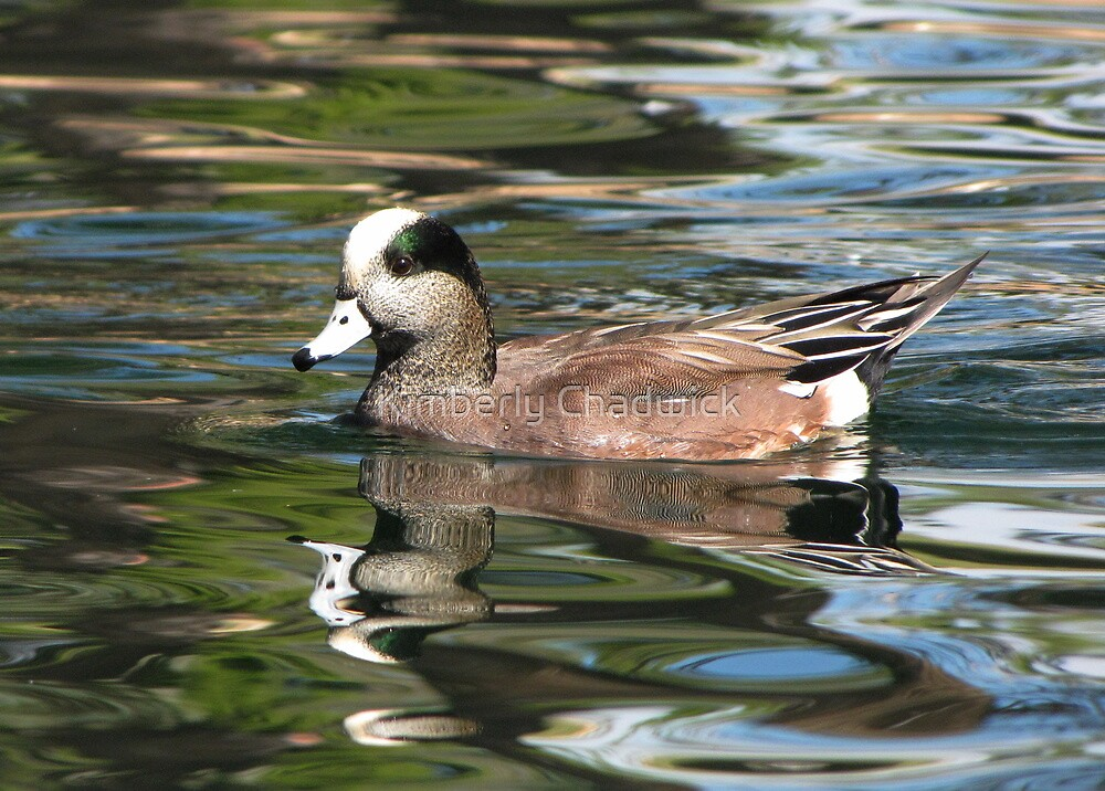 American Wigeon ~ Male by Kimberly Chadwick