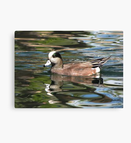 American Wigeon ~ Male Canvas Print