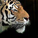 Amur Tiger by Irene  Burdell