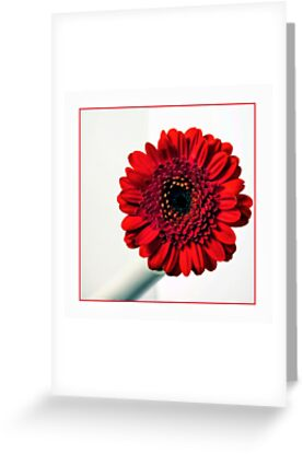 Square format red Gerbera  by Philip Butler