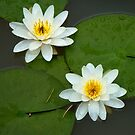Water Lilies by Natalie Cooper